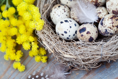 Easter concept  quail eggs in nest and mimosa flowers
