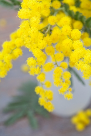 Mimosa in vase on wooden background
