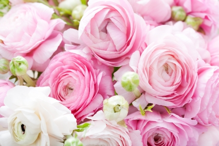 Pink and white ranunculus background
