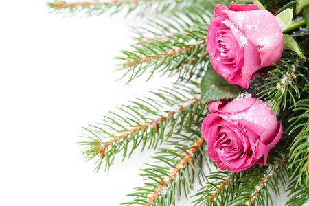 Pink roses and christmas tree branches on white background Stock Photo