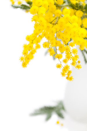 Spring flowers: mimosa on white background Stock Photo