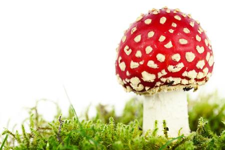 basidiomycete: Fly agaric or fly Amanita mushroom, Amanita muscaria