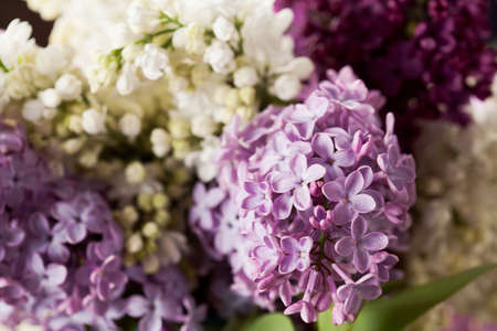 Brunches of white and purple lilac