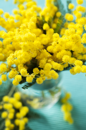 brunches: Brunches of beautiful Mimosa flower on cyan blue background