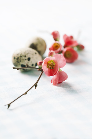 japanese quail: Easter concept: branch of japanese quince and quail eggs
