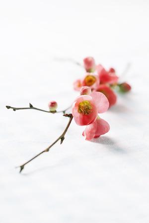 membrillo: flores de primavera: rama de membrillo japonés