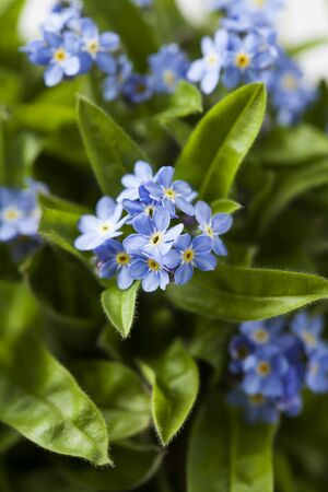 bunch up: Bunch of forget-me-not flowers, close up
