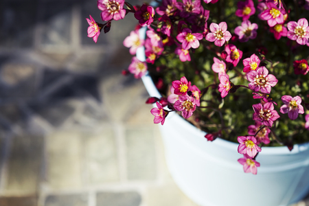 Gardening concept. Saxifraga or rockfoil flowers - beautiful groundcover plants.