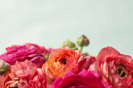 Close up  of pink ranunculus (buttercup) on white  background 写真素材