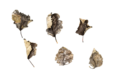 Set of fallen dry leaves isolated on white background. Dead oak autumn foliage decoration element isolated on white background.