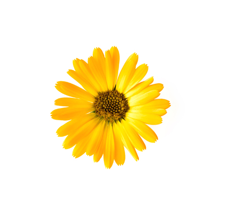 Yellow flower isolated on white. Yellow camomile (daisy).
