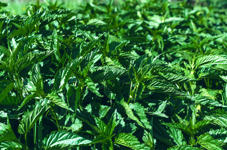 Nettle plant green leaves background.