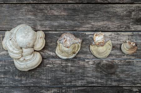 Chaga (shelf fungus) medicinal mushroom on the wooden background. Naturopathy. Alternative medicine.