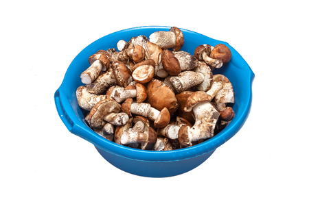 Heap of brown cap boletus leccinum scabrum in the washbowl isolated on white background.