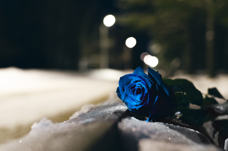 Forgotten blue rose flower laying in a snow covered bench in a night winter park background.