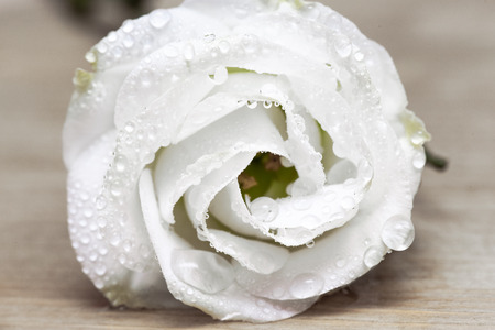 Dew drops on a white rose flower petals abstract background.