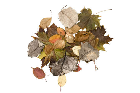 Bunch of different colorful autumn fallen leaves isolated on white background. Autumn foliage decoration.