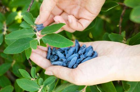 Berry in hand. Harvesting of honeysuckle berry in the garden.