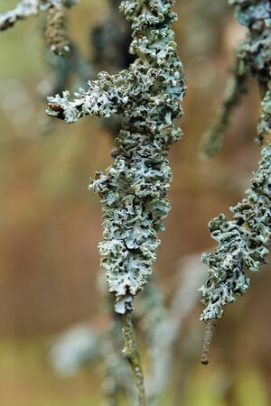 Lichen on tree branches close-up on blurred background Stok Fotoğraf