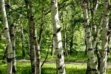 birches: Birches in the forest