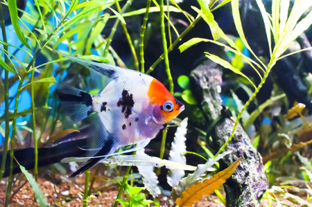 scalar: Koi scalar in an aquarium on a background of green algae and blue water Stock Photo