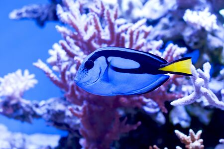 surgeon fish: Blue surgeon fish in an aquarium on a background of corals and blue water