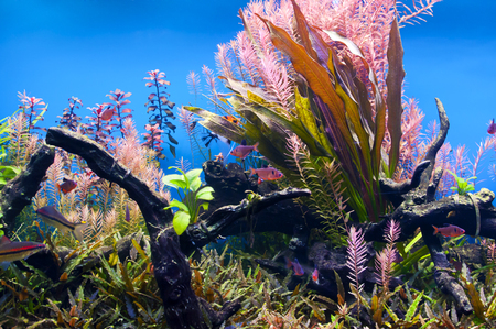 freshwater aquarium plants: Underwater algae in an aquarium with small fish Stock Photo