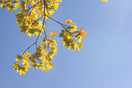 A branch of yellow maple leaves in autumn