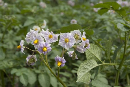 Young potatoes in blossom in the field Stock Photo