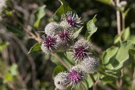 Burdock (Arctium) bursting into blossom