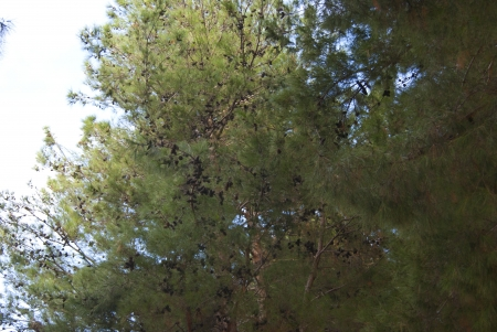 Pinia tree branches shown in the forest Stock Photo - 17034724