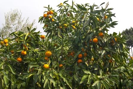 Ripe tangerines in the tree