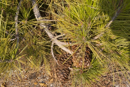 Pinia branch with a strobila lying on the ground Stock Photo - 17034730