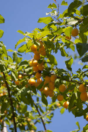 Cherry plum on the tree in the bright day Stock Photo - 17476662