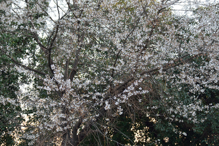 alycha: Cherry plum (alycha) in blossom Stock Photo