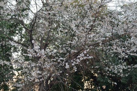 alycha: Cherry plum (alycha) in blossom Stock Photo