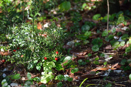Ruscus on the groun with ripe berries Banque d'images