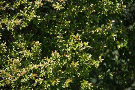 punica granatum: Punica granatum legrelli  leaves in summer