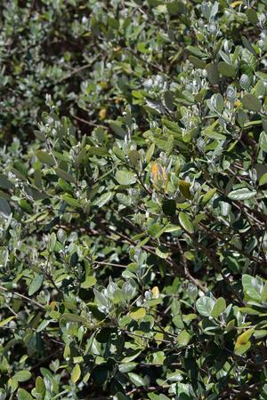 feijoa: Feijoa sellowiana closeup fresh leaves