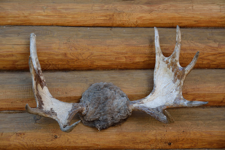 Moose horns on the wooden wall photo