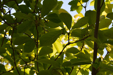 Magnolia soulangeana leaves in good weather