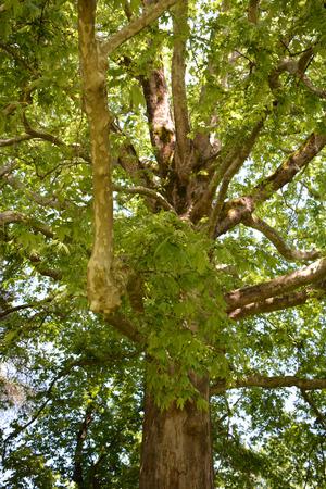Platanus orientalis growing in the park Banque d'images