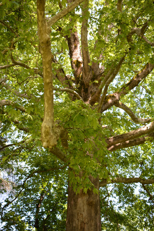 Platanus orientalis growing in the park Stock Photo