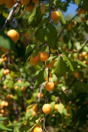 alycha: Cherry plum ripening on the branch