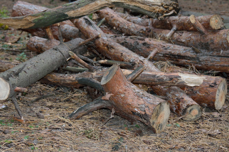 leftover: Leftover pine logs on the ground