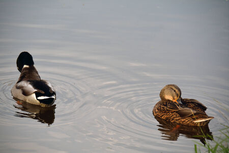 beaks: Due anatre seduta in acqua con becchi in piume