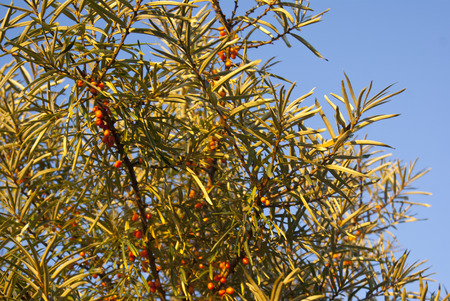 seabuckthorn: Ripe sea-buckthorn on the branch