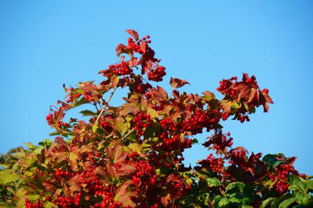 arrow wood: Ripe berries of arrow wood on the bush