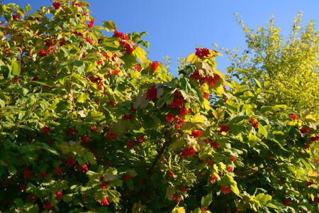 guelderrose: Guelder-rose on the bush in autumn