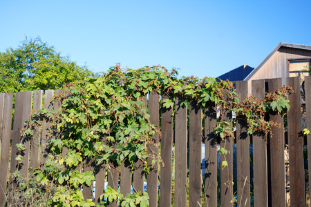 humulus: Humulus on the wooden fence, in good weather